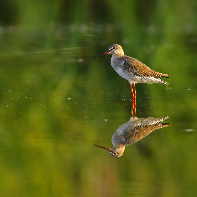 """""""Spotted Red shank"""" stock image"""