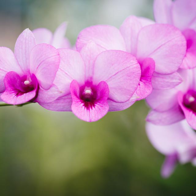 """Purple Orchids flower"" stock image"