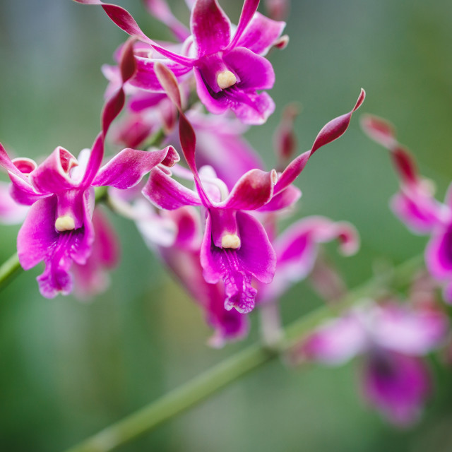 """Purple Orchids flower"" stock image"