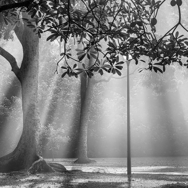 """Mist, Light & Trees - Study 2"" stock image"
