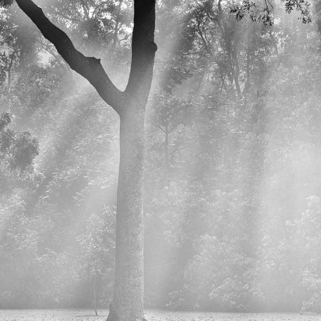 """Mist, Light & Trees - Study 3"" stock image"
