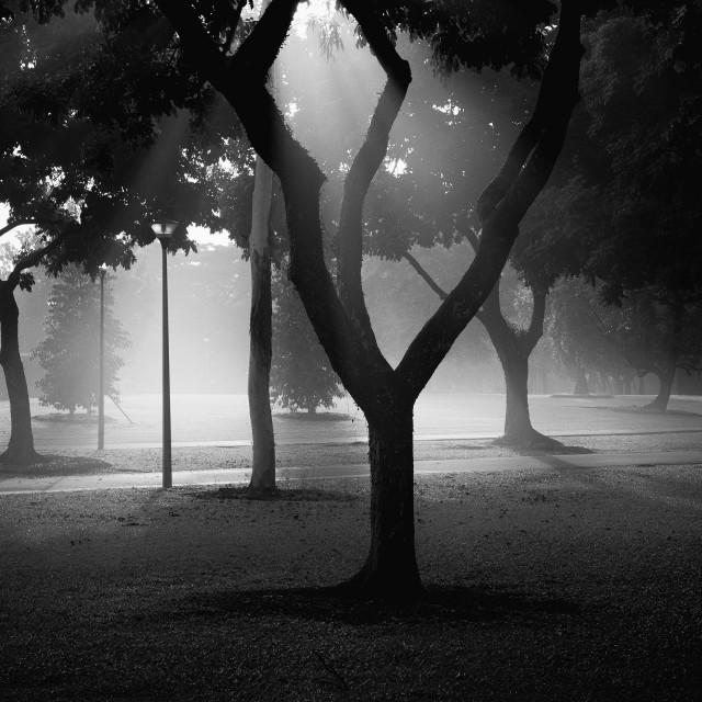 """Mist, Light & Trees - Study 6"" stock image"