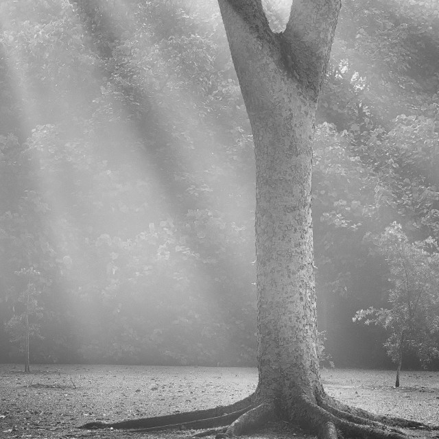"""Mist, Light & Trees - Study 4"" stock image"