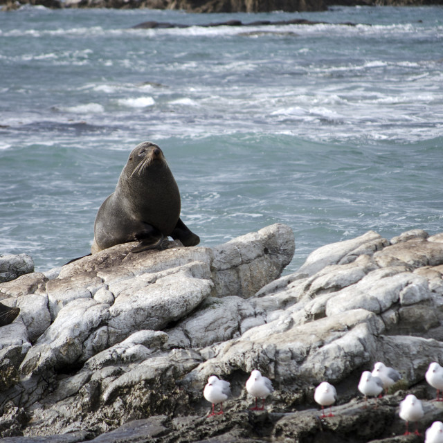 """Seal on the Rocks"" stock image"
