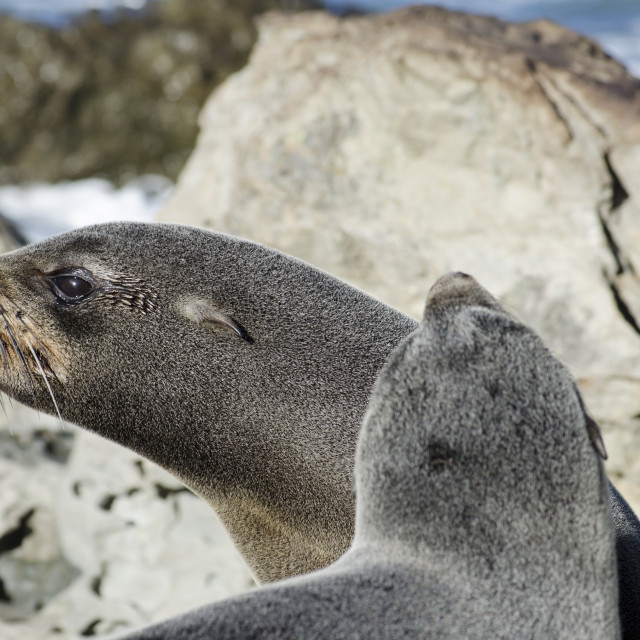 """Seal Snarl"" stock image"