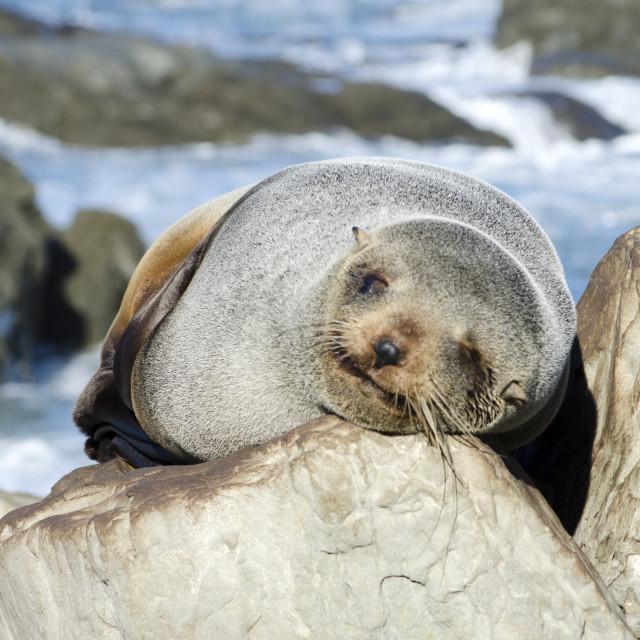 """Sleeping Seal"" stock image"