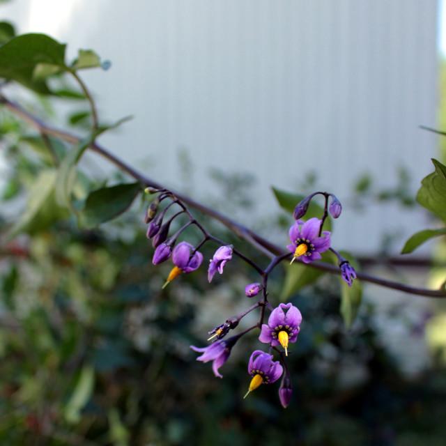 """""""Bittersweet Nightshade (Solanum dulcamara)"""" stock image"""