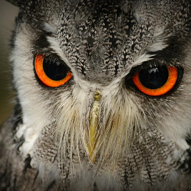 """Little Grey Owl"" stock image"