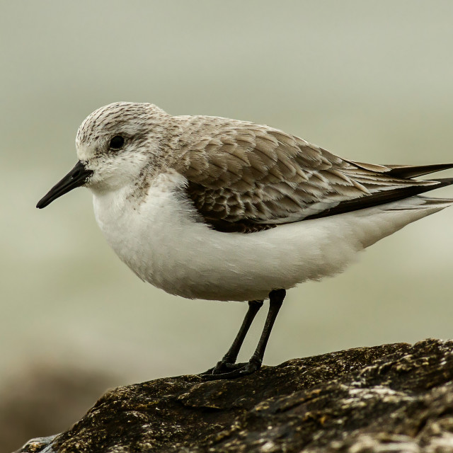 """Sanderling"" stock image"