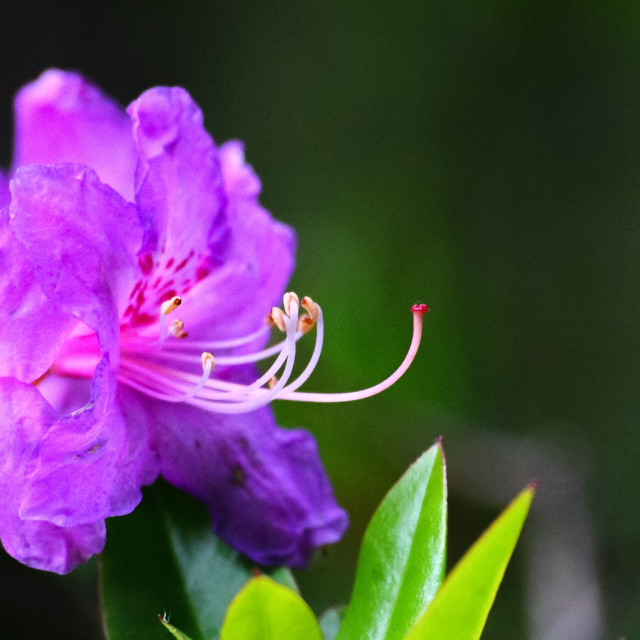 """""""Wild Rhododendron"""" stock image"""