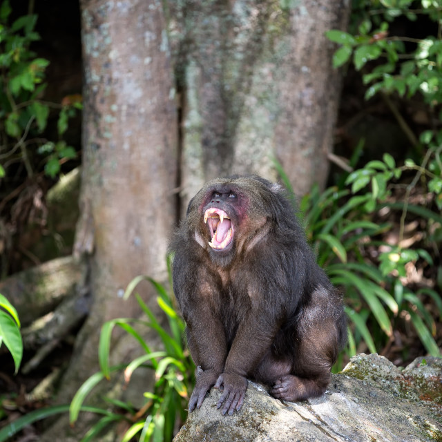 """a female ape sitting on a rock with its mouth open"" stock image"
