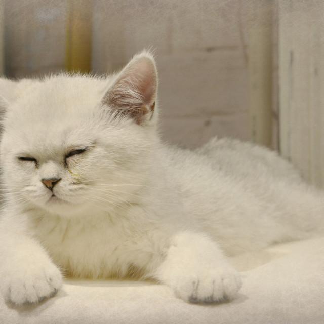 """""""Beijing Kitten"""" stock image"""