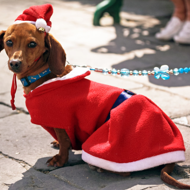 """A dog dressed as Santa Claus sitting on a cobbled road"" stock image"