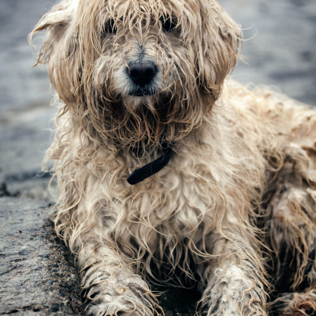 """""""A white shaggy dog sits outside in the rain in mexico"""" stock image"""