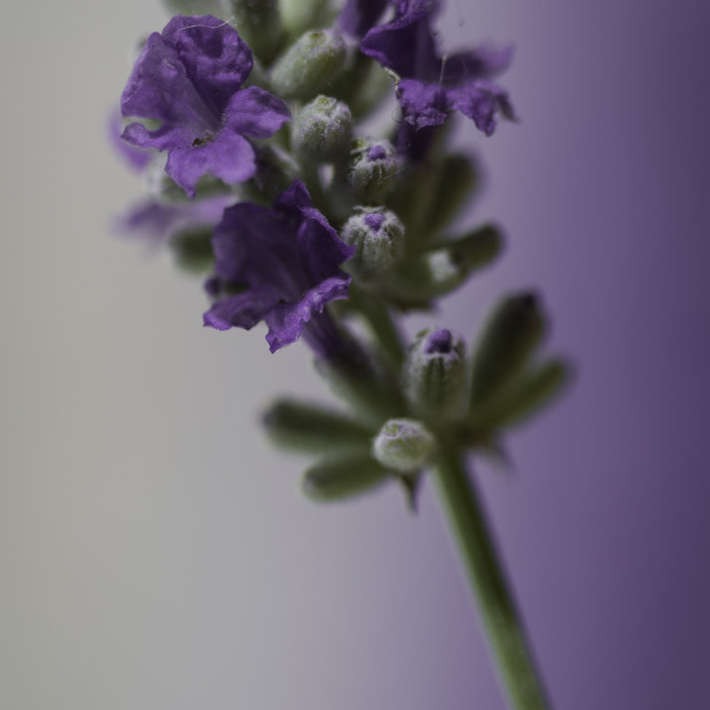 """Lavender Dream"" stock image"