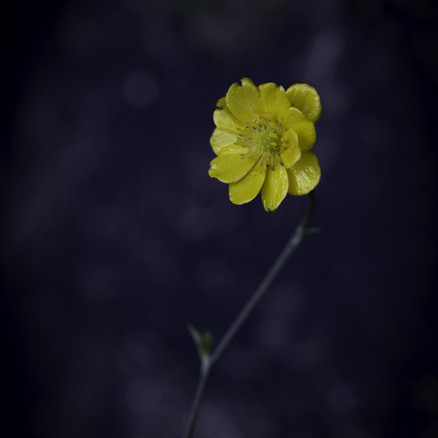 """Buttercup"" stock image"