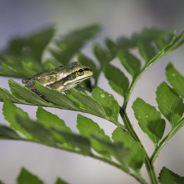 """Fern Frog"" stock image"