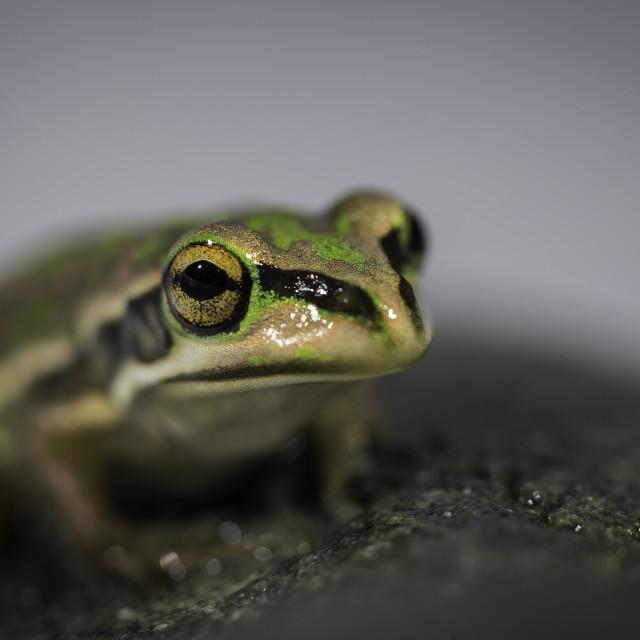 """""""Golden Bell Frog"""" stock image"""