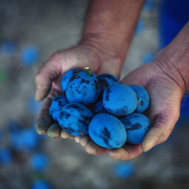 """Plum harvest. Farmers hands with freshly harvested plums"" stock image"