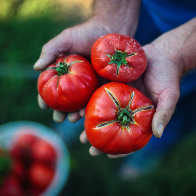 """Freshly harvested tomatoes in farmers hands"" stock image"