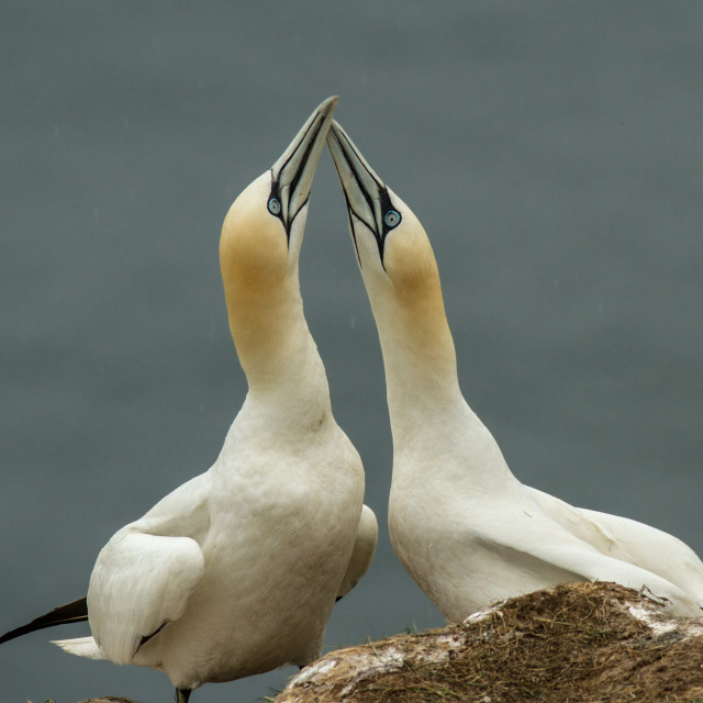 """Gannets Mating Ritual"" stock image"