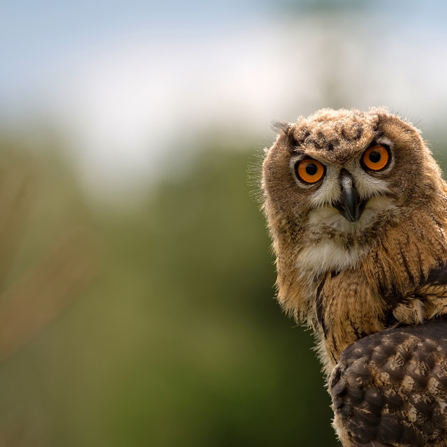 """Eagle-owl in the wild, a portrait"" stock image"