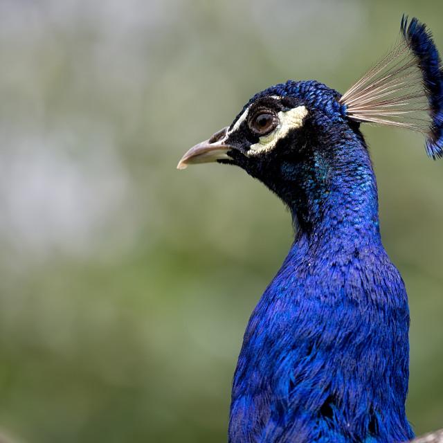 """Peacock, a portrait"" stock image"