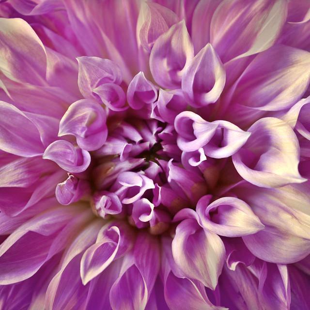 """Purple Beauty"" stock image"
