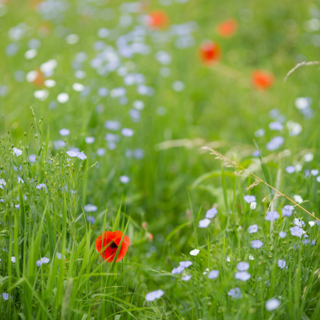 """Poppies and Blue Flowers - Meadow"" stock image"