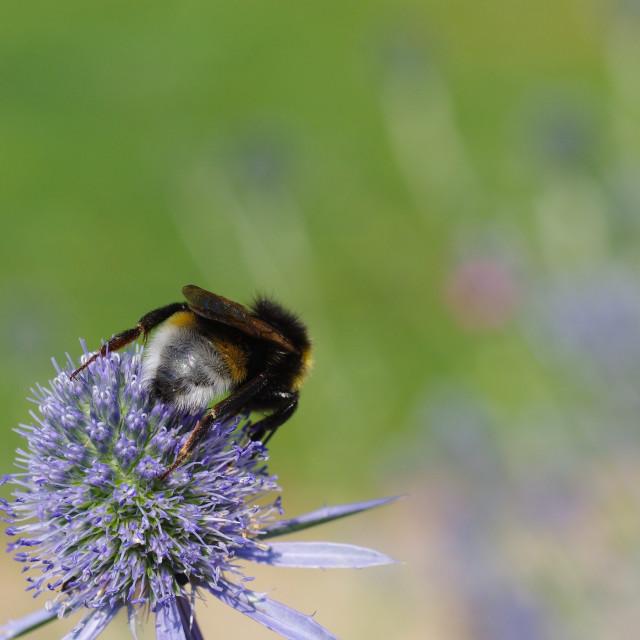 """Bumblebee on a Dipsacus"" stock image"