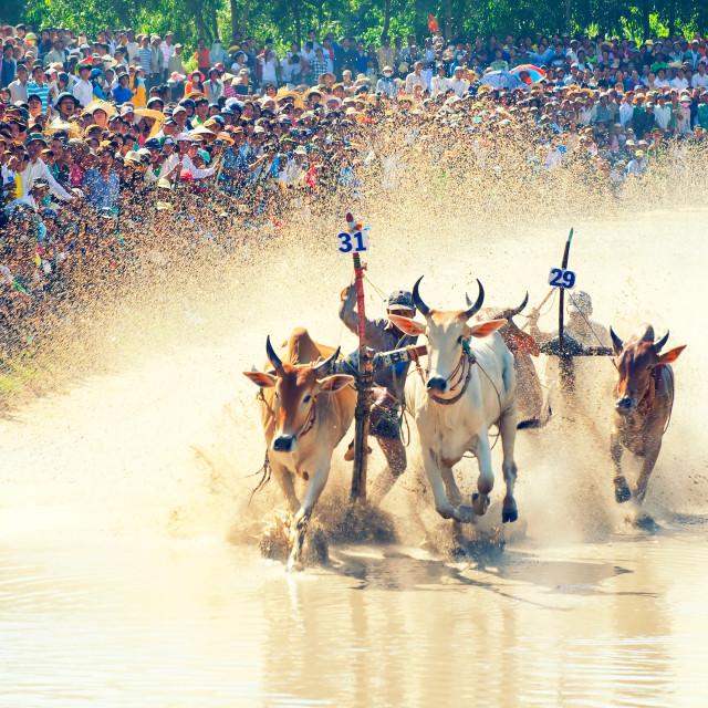 """""""Khmer bull racing festival in Mekong Delta, An Giang, Vietnam"""" stock image"""