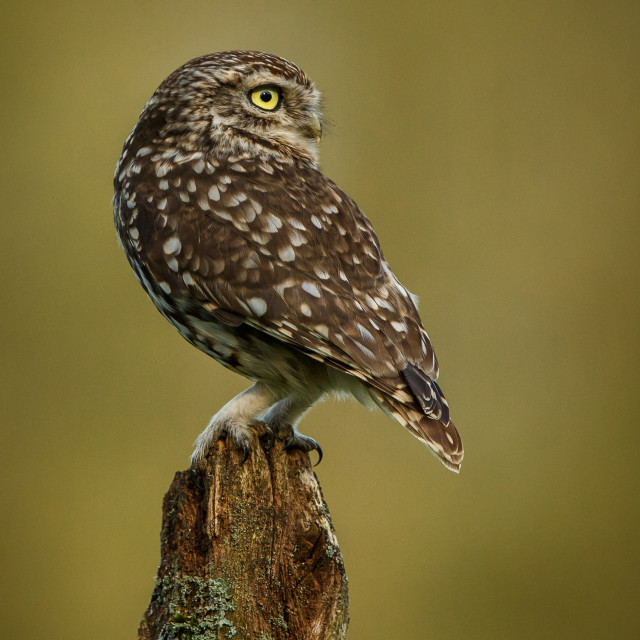 """Little Owl looking back"" stock image"