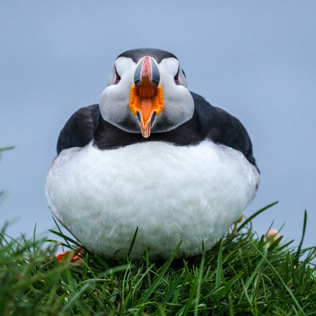 """Atlantic Puffin yawning"" stock image"