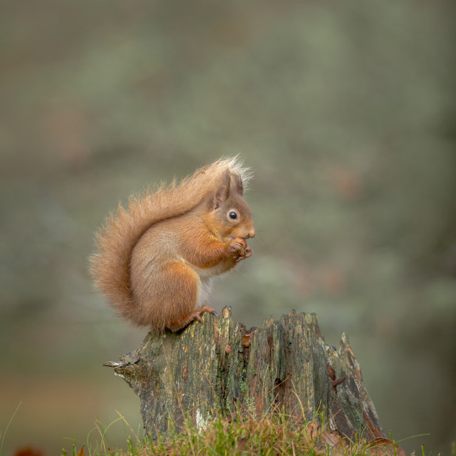 """Red Squirrel (Sciurus vulgaris) on tree stump"" stock image"