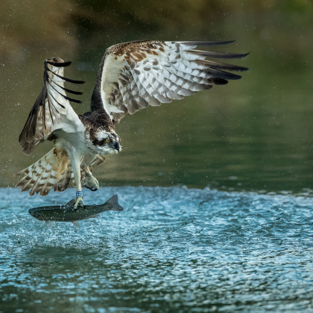 """Osprey (Pandion haliaetus) with fish"" stock image"