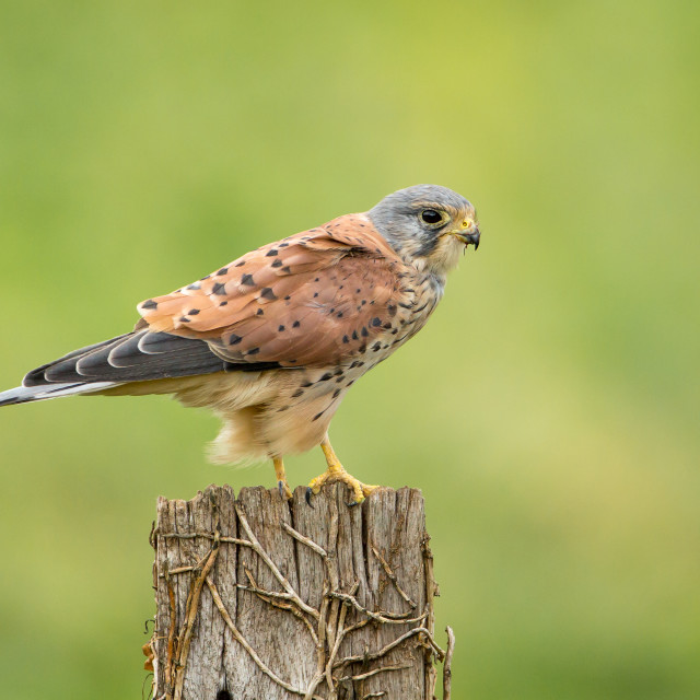 """""""Male Kestrel perched on post"""" stock image"""