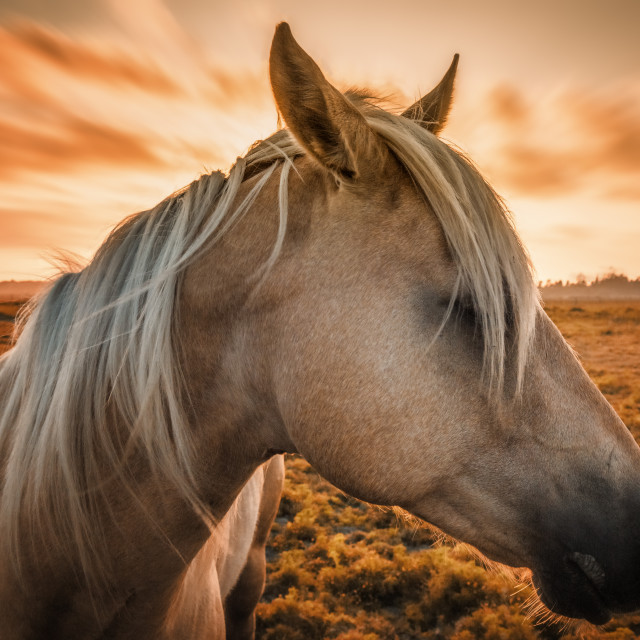 """Horse Profile with Sunset"" stock image"
