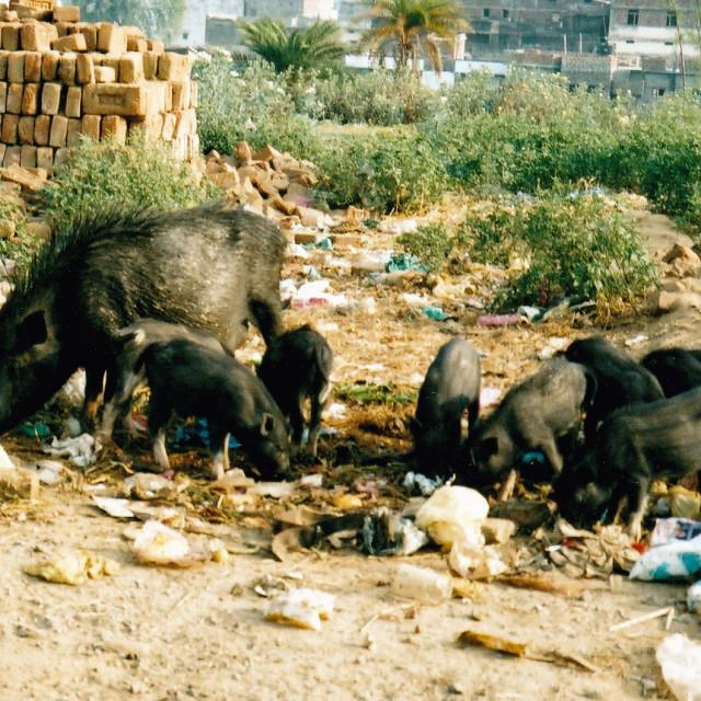 """Pigs! (2)"" stock image"