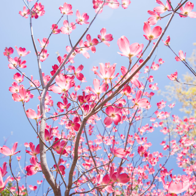 """""""Dogwood in bloom"""" stock image"""
