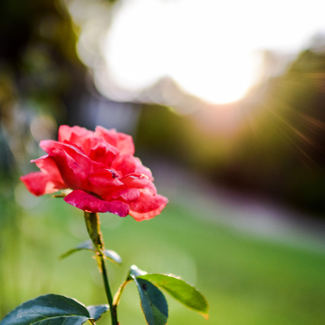 """Sunshine and Rose"" stock image"