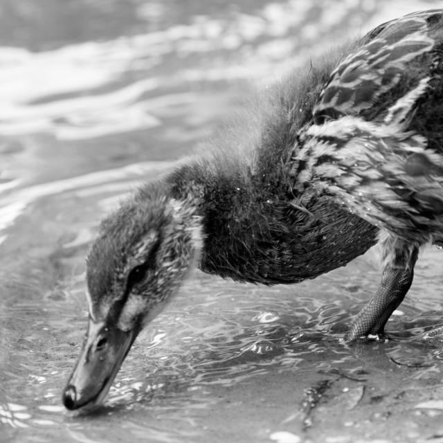 """Duckling feeding."" stock image"