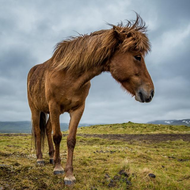 """""""Icelandic Horse"""" stock image"""