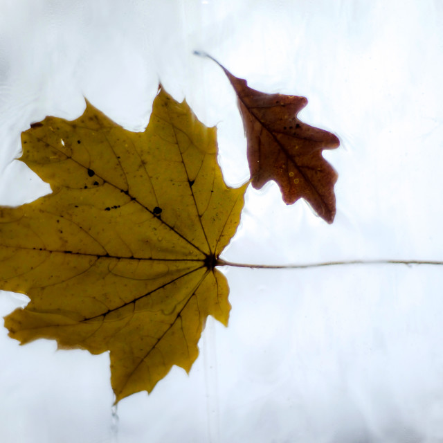 """Maple and Oak Tree Leaf"" stock image"