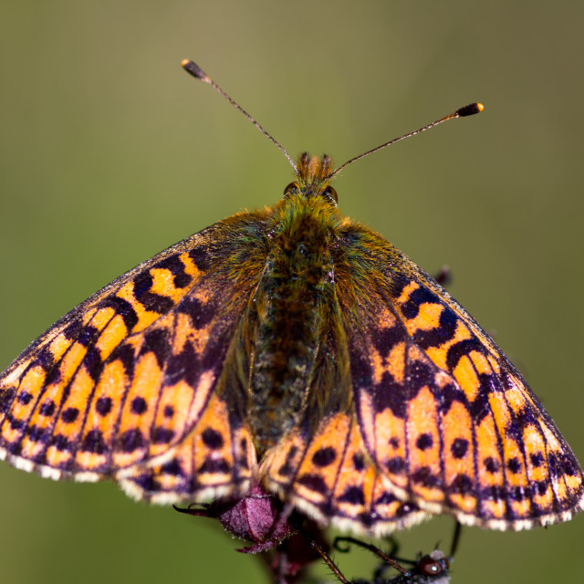 """""""Fritillary butterfly"""" stock image"""
