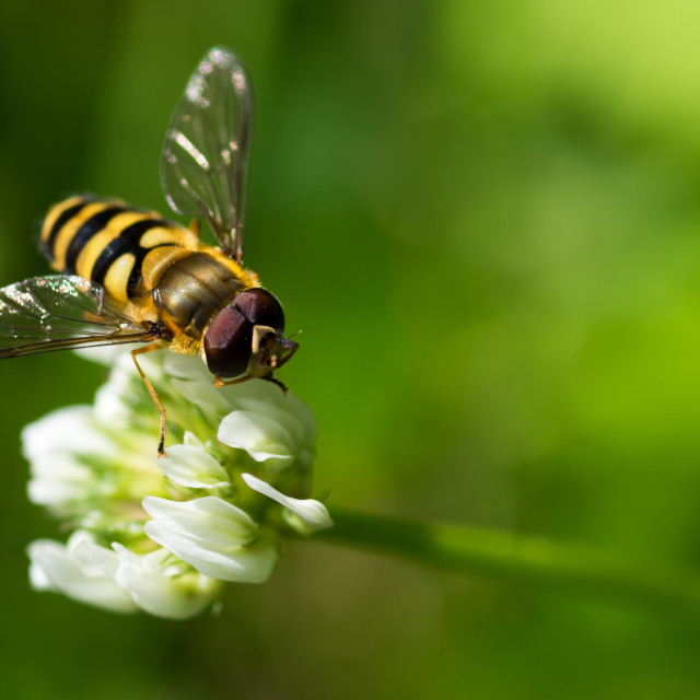 """Sunlit hoverfly"" stock image"