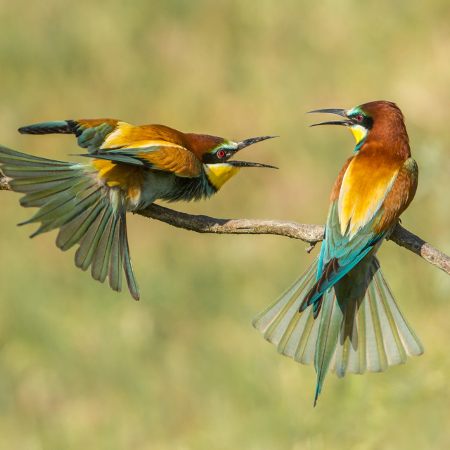 """Bee-eaters squabbling"" stock image"