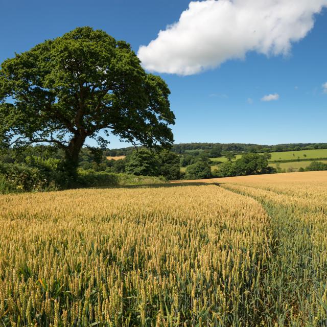 """Summer Corn Field"" stock image"