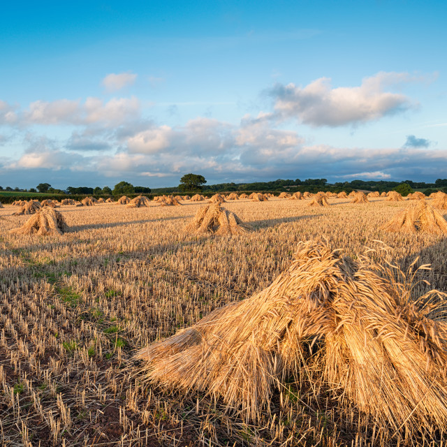 """Barley Field"" stock image"
