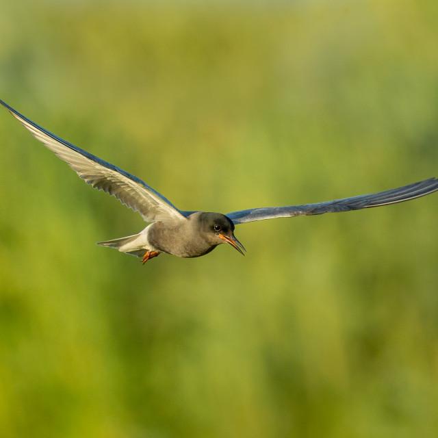 """""""Black Tern in flight"""" stock image"""