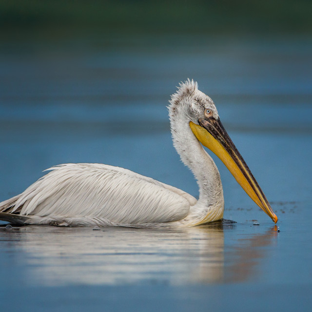 """Dalmatian Pelican on blue water"" stock image"